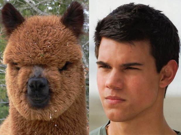 Taylor Lautner Llama
